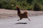 180px-Chicken