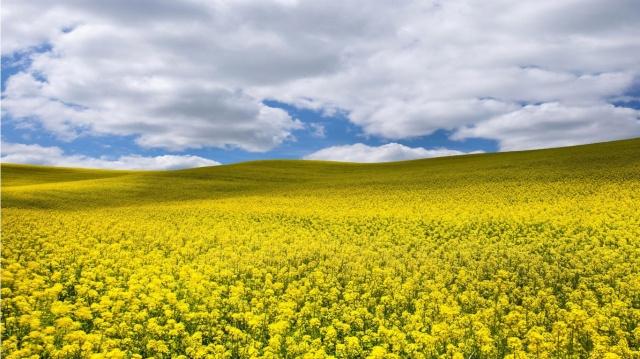paisaje_de_flores_amarillas-1366x768